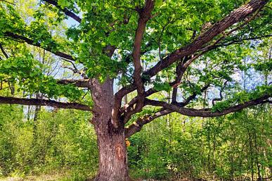Люцимирський дуб
